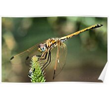 RED-VEINED DROPWING - Family Libellulidae dragon fly Poster