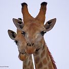 THE GIRAFFE, a perfect pose  by Magaret Meintjes