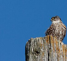 Roadside Merlin by DigitallyStill