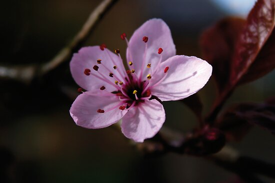 Cherry Blossom by DExPIX