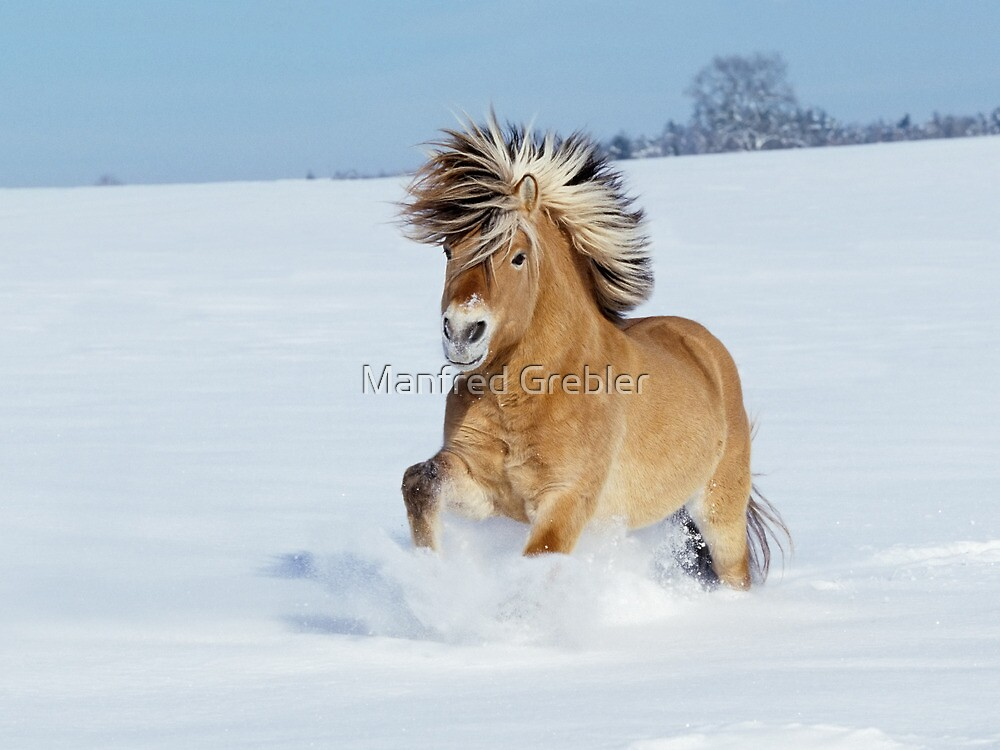 Norwegian horse galloping in snow by Manfred Grebler