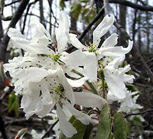 The First Blooming Tree by barnsis