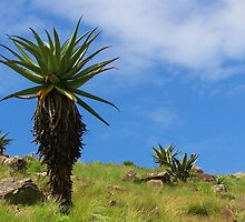 Aloe, standing tall by Transkei
