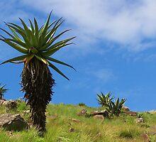 Aloe, standing tall by Transkei