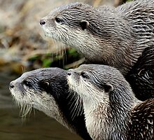 The otter trio by Alan Mattison IPA