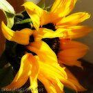 Sunflower by Ingrid Funk