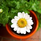 Daisy by Ingrid Funk