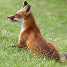 Fox  by Gary Fairhead