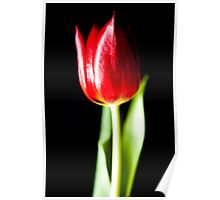 Tulip on Black Poster