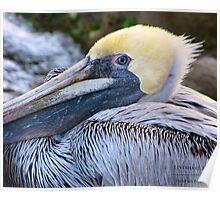 Pelicans Eye Poster