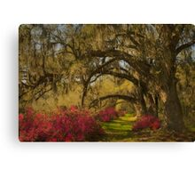 Live Oaks  Canvas Print