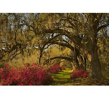 Live Oaks  Photographic Print