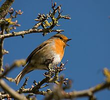 Robin singing for spring by Jon Lees