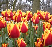 Spring tulips - Keukenhof Holland by Kate Harriman
