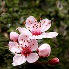 Kirschblüte by wistine