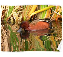 Cinnamon Teal ~ Male Poster