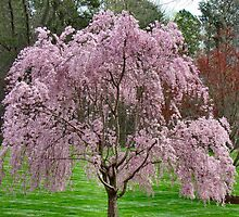 Weeping Cherry Tree by Beaches50