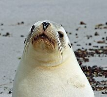 An Australian Sea-Lion by jozi1
