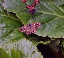 Speckled Wood Butterfly by Chris Monks
