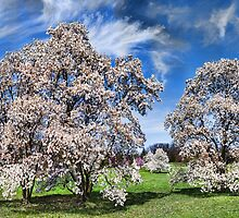Spring Blossoms by Michael Wolf