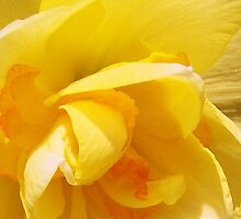 PRETTY DAFFODIL by Terra 'Sunshine' Gilbert