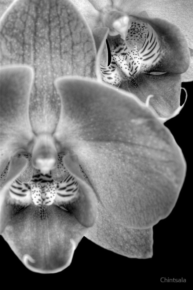 Moth OrchidBW by Chintsala