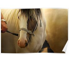 Gipsy Pony Portrait...Appleby Horse Fair, Cumbria, UK Poster