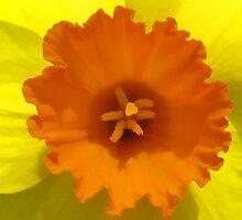 Daffodil by smw24