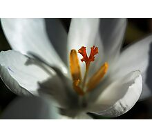 Delicate White Crocus -  Photographic Print