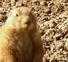 Prairie Dog's Warm Welcome by Barberelli