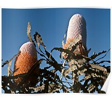 Possible Banksia ashby Nr Jurien Bay WA 19820815 0006  Poster