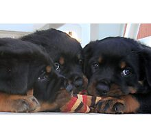 "Rottweiler ""Three Way Tie"" Photographic Print"