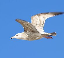 Gull in Flight over the Gulf of Texas Mustange Island Spring Break 2010 by kellimays