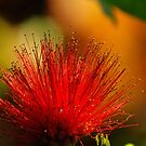 MIMOSA....RED....Backlight by kellimays