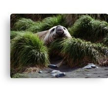 Southern Elephant Seal in the Tussock Grass, Macquarie Island  Canvas Print