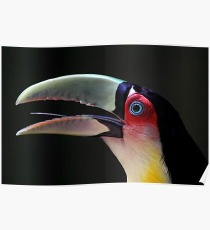 Red Breasted Toucan Portrait at Iguassu, Brazil Poster