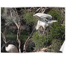 Flight's End: Australian White Ibis, South Australia  Poster