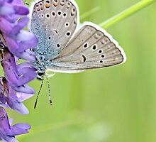 Amanda's Blue, Polyommatus amandus by pogomcl