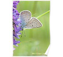 Amanda's Blue, Polyommatus amandus Poster