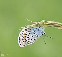 Silver-Studded Blue, Plebejus, Plebeius, argus  by pogomcl