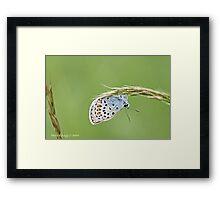 Silver-Studded Blue, Plebejus, Plebeius, argus  Framed Print