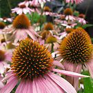 echinacea by wendy lamb