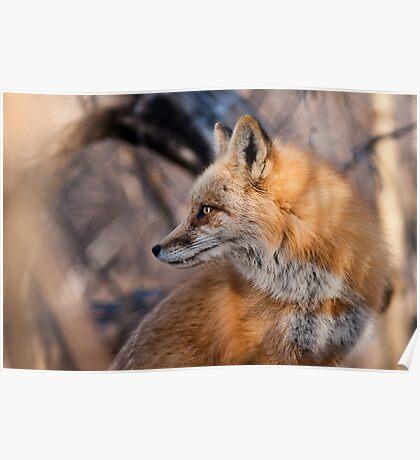 Alpha Fox Portrait Poster