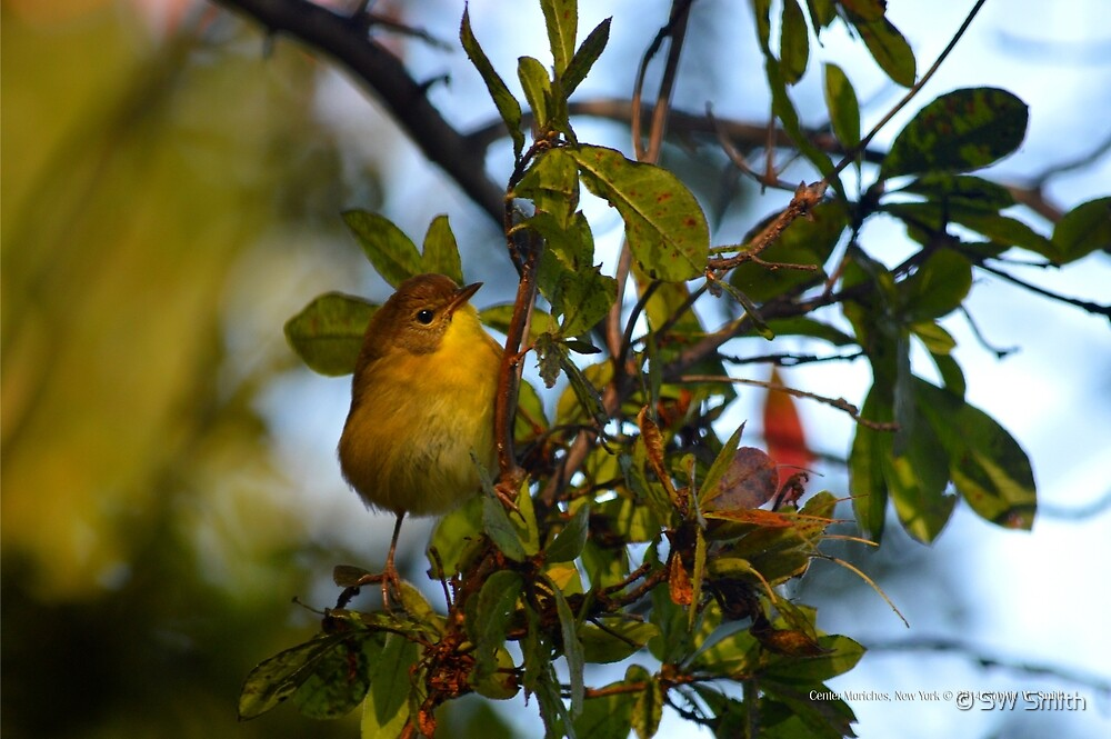 Oreothlypis Ruficapilla - Nashville Warbler | Center Moriches, New York by © Sophie W. Smith