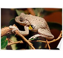 Emerald Spotted Tree Frog - Litoria peronii 2 Poster