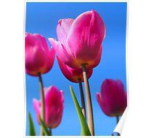 Vibrant Crimson Tulips Poster