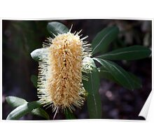 Banksia Candle 2 Poster