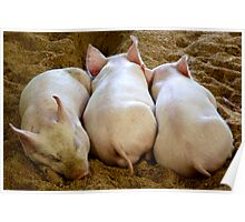 Sleeping Piglets  Poster