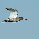 Male Redshank by Robert Abraham