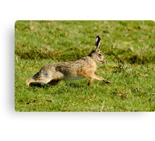March Hare (Lepus europaeus) Canvas Print